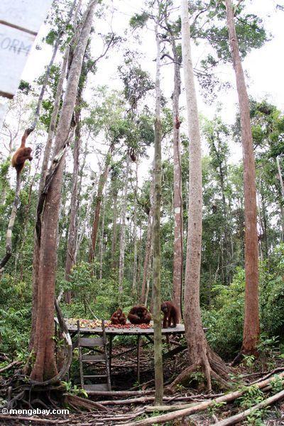 Group of orangutans on feeding platform at Camp Leaky (Kalimantan, Borneo - Indonesian Borneo)
