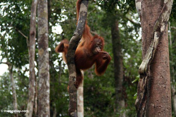 Young orang-utan grasping a woody liana while pondering (Kalimantan, Borneo - Indonesian Borneo)