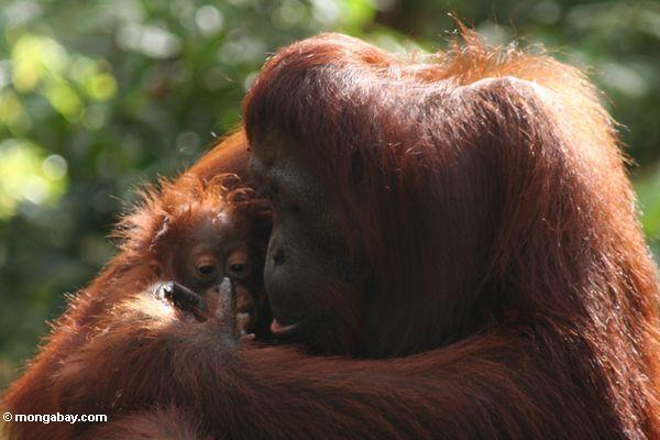 Mother orang wiping infant's face (Kalimantan, Borneo - Indonesian Borneo)