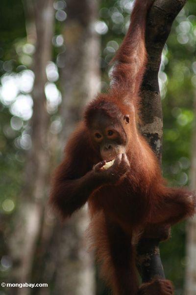 Young orangutan feeding on fruit (Kalimantan, Borneo - Indonesian Borneo)