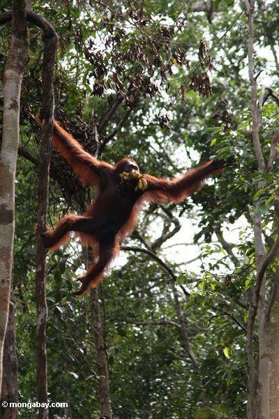 Orangutan climbing while holding a bunch of bananas in its mouth (Kalimantan, Borneo - Indonesian Borneo)