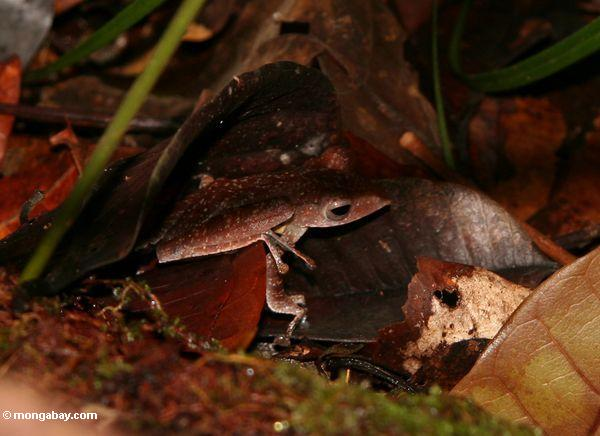 Brown leaf frog in Borneo (Kalimantan, Borneo - Indonesian Borneo)
