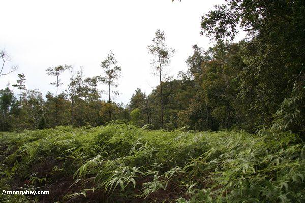 Ferns colonized this patch of forest cleared for rice fields (Kalimantan, Borneo - Indonesian Borneo)