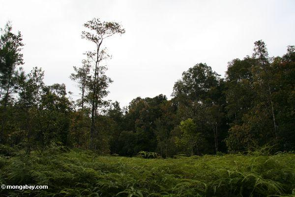 Deforested patch of forest in Borneo (Kalimantan, Borneo - Indonesian Borneo)