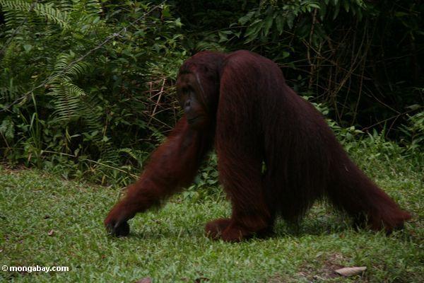 Adult Male Orangutan in motion (Kalimantan, Borneo - Indonesian Borneo)
