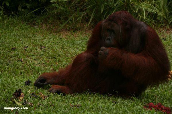 Adult Male Orangutan sitting on grass at Camp Leaky (Kalimantan, Borneo - Indonesian Borneo)