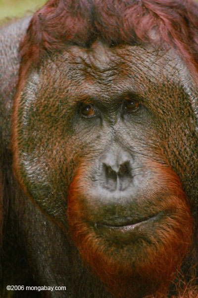 Adult Male Orangutan (Kalimantan, Borneo - Indonesian Borneo)