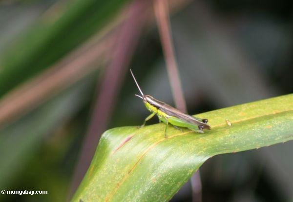 Small grasshopper with green belly, yellow flanks, and a brown back (Kalimantan, Borneo - Indonesian Borneo)