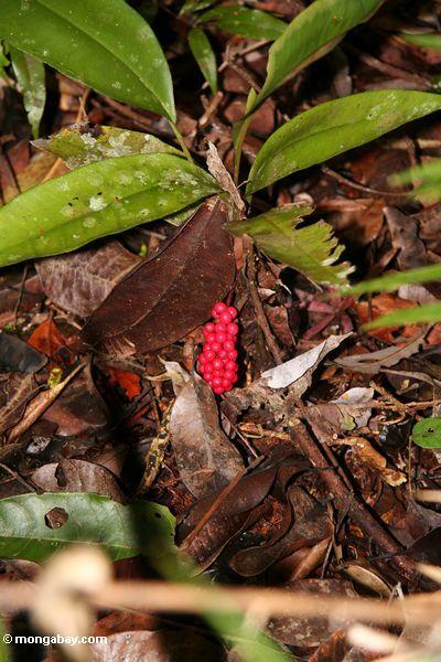Red fruits on rainforest shrub (Kalimantan, Borneo - Indonesian Borneo)