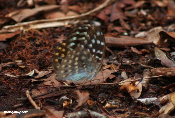 Yellow-, green-, and orange-spotted butterfly with blue underparts (Kalimantan, Borneo - Indonesian Borneo)