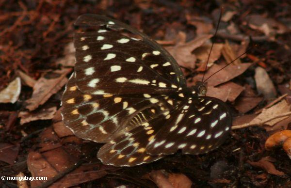 Yellow-, green-, and orange-spotted butterfly in leaf litter (Kalimantan, Borneo - Indonesian Borneo)