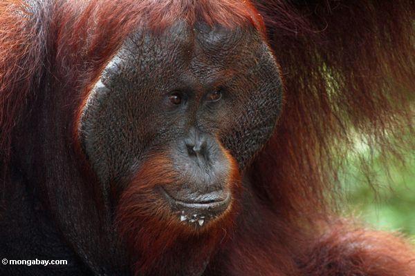 Ex-captive adult male Borneo Orang-utan (Pongo pygmaeus) (Kalimantan, Borneo - Indonesian Borneo)