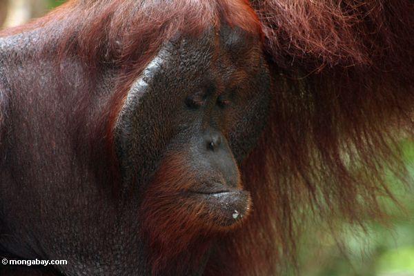 Rehabilitated adult male Orangutan at Pondok Tanggui (Kalimantan, Borneo - Indonesian Borneo)