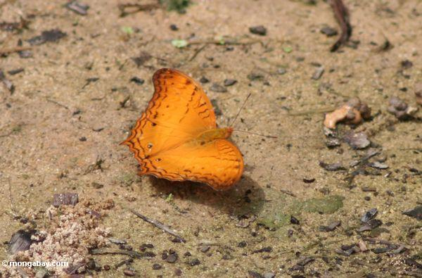 Orange butterfly on forest floor in Borneo (Kalimantan, Borneo - Indonesian Borneo)
