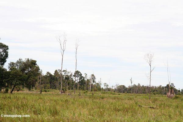 Deforested area near Tanjung Puting National Park (Kalimantan, Borneo - Indonesian Borneo)