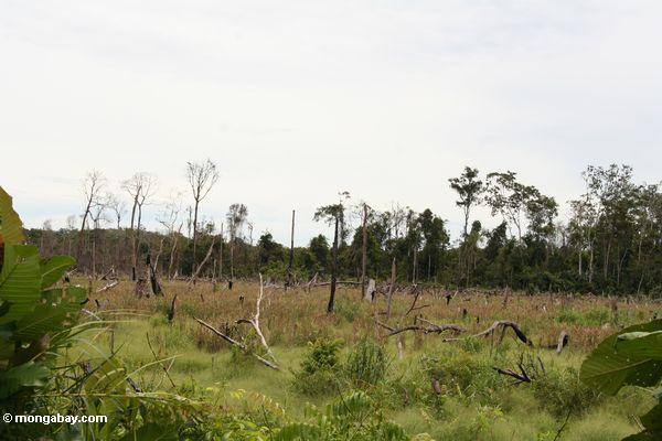 Slash-and-burned patch near Tanjung Puting National Park (Kalimantan, Borneo - Indonesian Borneo)