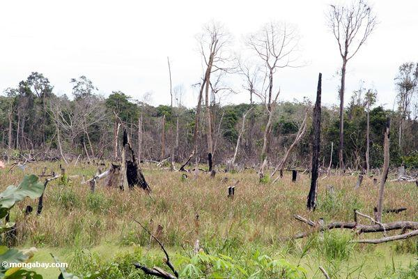Charred stumps left after slash-and-burn of rainforest (Kalimantan, Borneo - Indonesian Borneo)