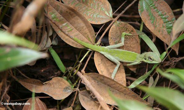 Green Bronchocela cristatella lizard (Kalimantan, Borneo - Indonesian Borneo)