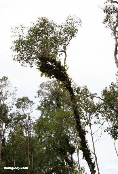 Epiphyte-laden canopy tree (Kalimantan, Borneo - Indonesian Borneo)