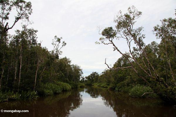 Rain forest along the Seikonyer River (Kalimantan, Borneo - Indonesian Borneo)