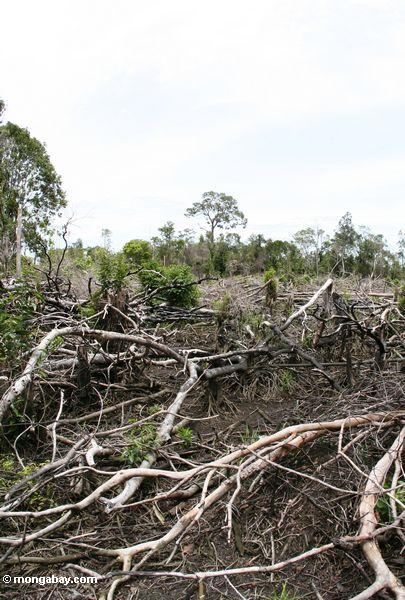 Section of jungle that has been cut for swidden agriculture in Borneo (Kalimantan, Borneo - Indonesian Borneo)