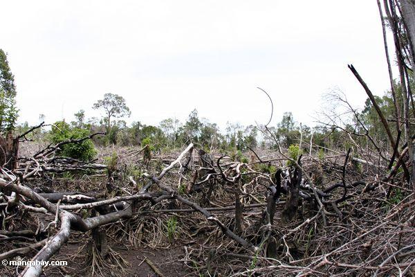 Section of rain forest that has been cut for subsistence agriculture in Borneo (Kalimantan, Borneo - Indonesian Borneo)