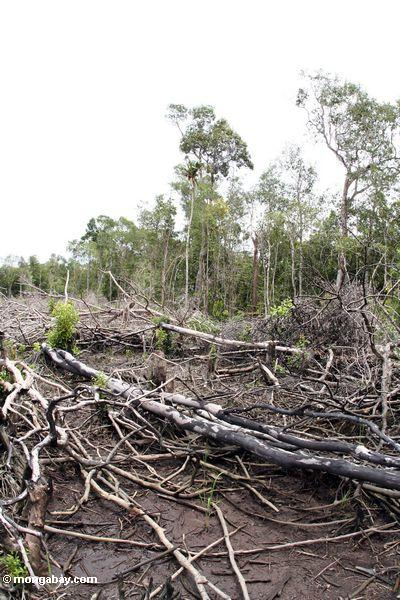 Charred remnants of a section of rain forest that has been unsuccessfully slash-and-burned for small-scale agriculture (Kalimantan, Borneo - Indonesian Borneo)