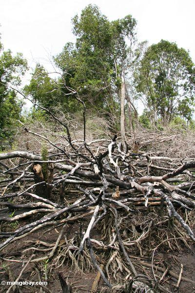 Fallen tree limbs from an attempt to slash-and-burn an area of rain forest for agricultural use (Kalimantan, Borneo - Indonesian Borneo)