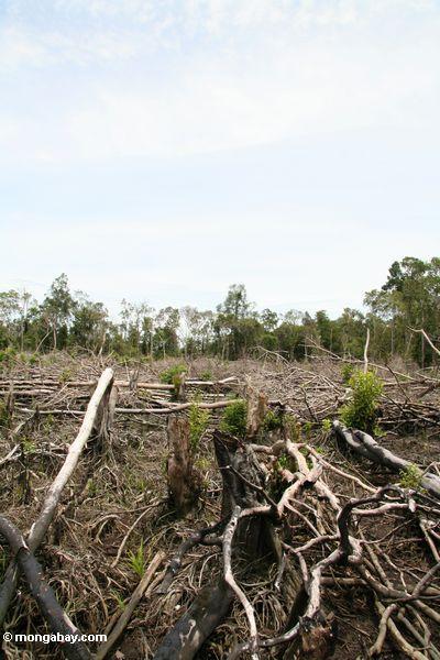 Slash-and-burn agriculture in the rain forest of Borneo (Kalimantan, Borneo - Indonesian Borneo)