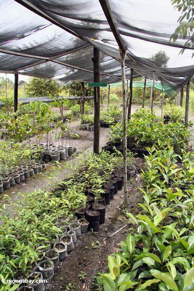 Hardwood canopy tree seedlings at reforestation project in Tanjung Puting National Park (Kalimantan, Borneo - Indonesian Borneo)