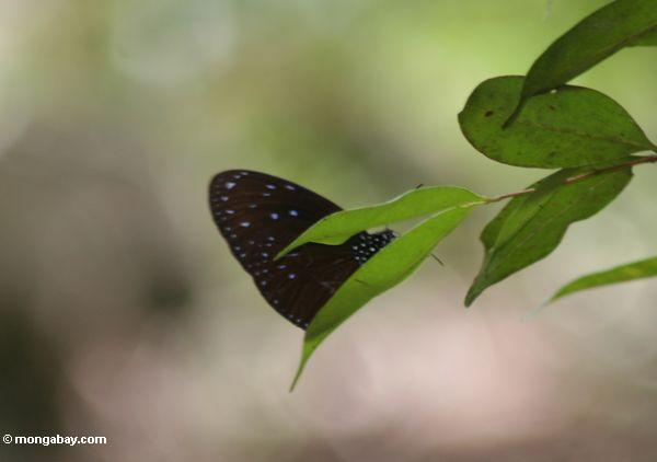Black butterfly with iridescent purple-blue spots on the underwings (Kalimantan, Borneo - Indonesian Borneo)
