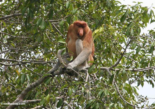Proboscis monkey. Photo by: Rhett A. Butler.