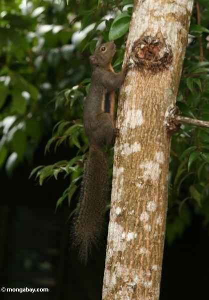 Borneo forest squirrel with orangish belly (Kalimantan, Borneo - Indonesian Borneo)