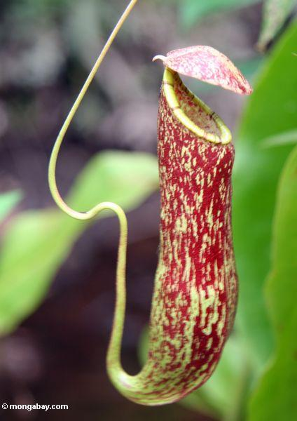 Red Pitcher Plant Nepenthes Rafflesiana Kalimantan