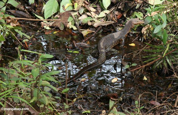 Water monitor (Varanus salvator) in the Borneo swamp forest (Kalimantan, Borneo - Indonesian Borneo)
