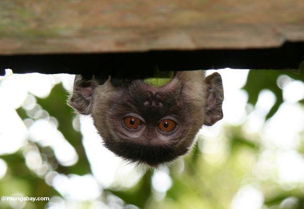 Long-tailed macaque (Macaca fascicularis) peeking over a roof so only its head is visible (Kalimantan, Borneo - Indonesian Borneo)