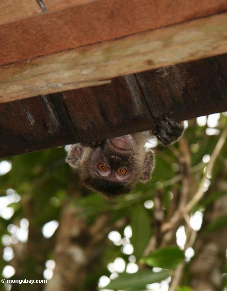 Long-tailed macaque peeking over a roof so only its head is visible (Kalimantan, Borneo - Indonesian Borneo)