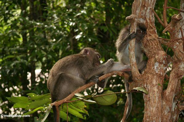 Long-tailed macaque picking through the fur of a friend (Kalimantan, Borneo - Indonesian Borneo)