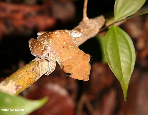 Tree frog in the Borneo rainforest (Kalimantan, Borneo - Indonesian Borneo)