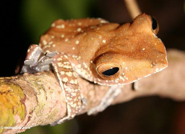 Tree frog in the tropical forest of Borneo (Kalimantan, Borneo - Indonesian Borneo)