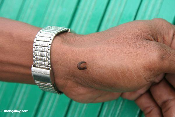 Blood-sucking leech inching along a man's hand (Kalimantan, Borneo - Indonesian Borneo)
