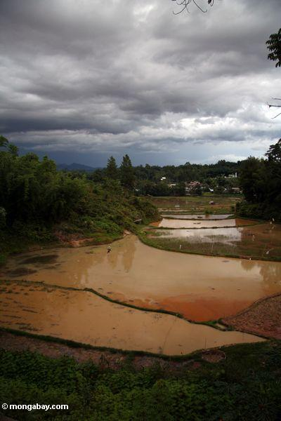Muddy rice fields in Tana Toraja (Toraja Land (Torajaland), Sulawesi)