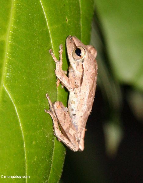 Grey tree frog (Toraja Land (Torajaland), Sulawesi)