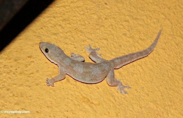 House gecko on yellow-orange background (Toraja Land (Torajaland), Sulawesi)