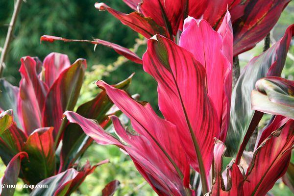 Red leaves (Toraja Land (Torajaland), Sulawesi) -- sulawesi6644