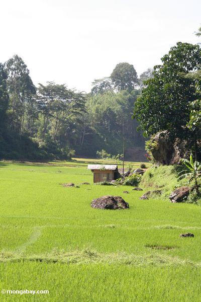 Shack in rice fields of Lemo (Toraja Land (Torajaland), Sulawesi)
