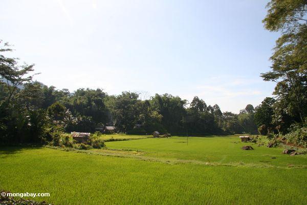 Rice fields at Lemo (Toraja Land (Torajaland), Sulawesi) -- sulawesi6665