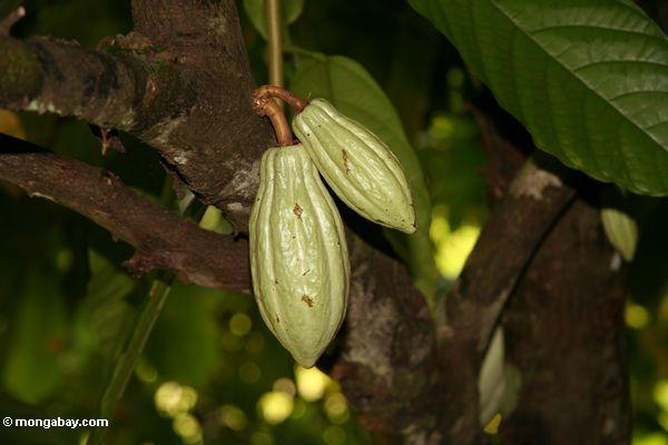 Green cacao pods still on the tree (Toraja Land (Torajaland), Sulawesi)