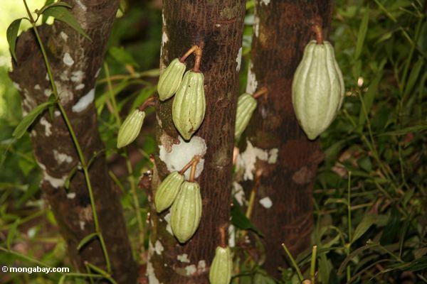 Unripe green cacao pods (Toraja Land (Torajaland), Sulawesi)
