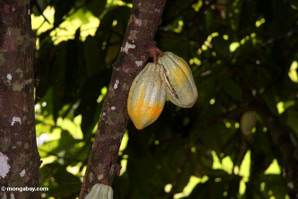 Ripening cacao pods still on the tree (Toraja Land (Torajaland), Sulawesi)